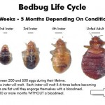 bed-bug-lifecycle-stages